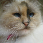 Abbey the Birman